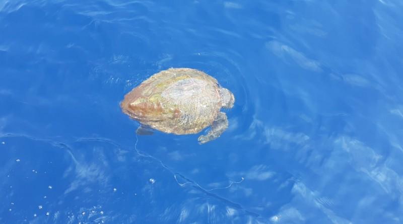 """Appello da Punta Campanella: """"massima attenzione per le tartarughe marine"""""""